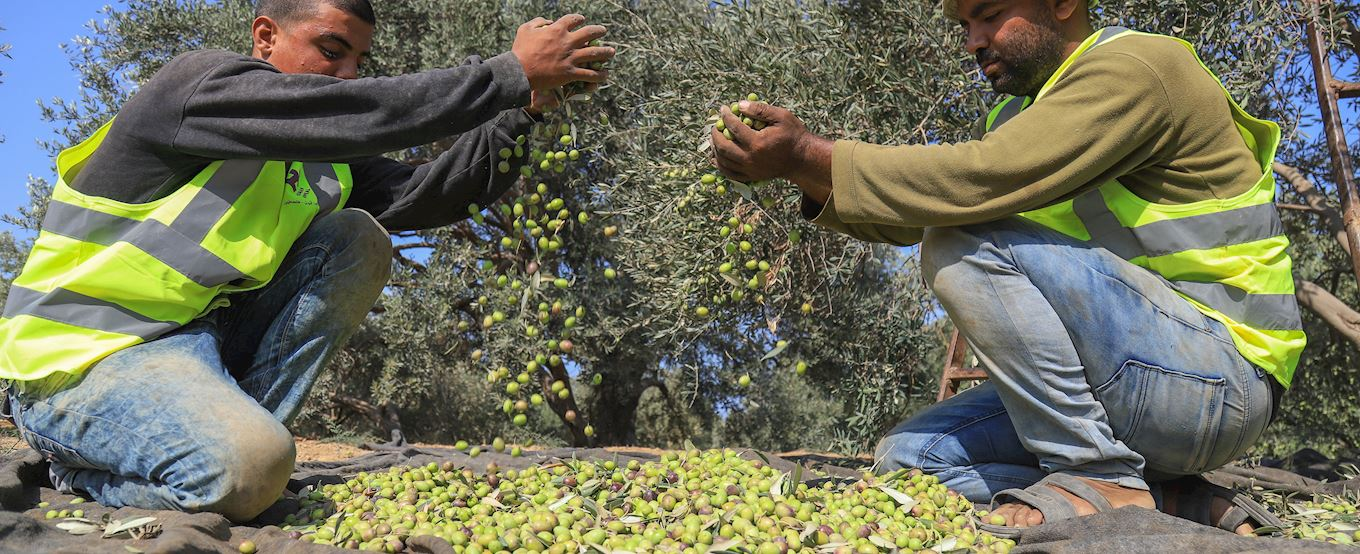 two men collecting olives